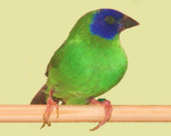 'normal' bird - green with blue mask